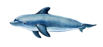 Realistic watercolor dolphin on a white background. Animals of the sea Stock Photos