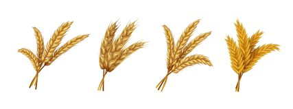 Realistic wheat. Ears and grains of organic rye spike and oat, farming agricultural cereals healthy food. Vector harvest royalty free illustration