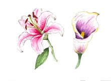 Realistic white-pinc watercolor lily and calla lily, on white background. The symbol of royal beauty, enchanting, attraction and passion beauty stock illustration