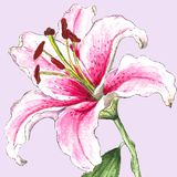 Realistic white-pinc watercolor lily, on light pink background. The symbol of royal beauty, enchanting, attraction and passion beauty royalty free illustration