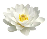Realistic white water lily vector Stock Image