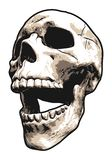 Horrifically Laughing Realistic Human Skull vector illustration