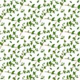 Realistisch natuurlijk naadloos patroon met altijdgroen kruid Thymetak en bladeren op witte achtergrond Florastijl Vectorillustra Stock Foto's