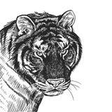 Realistisch portret van Afrikaanse dierlijke Tijger Uitstekende gravure B stock illustratie