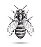 Realistische die honingbij op een witte achtergrond wordt geïsoleerd Zwarte witte tekening Grafische illustratie voor uw ontwerp Royalty-vrije Stock Foto