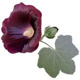 Realistische die illustratie van de bloem van de Bordeauxmalve (alcea) op witte achtergrond wordt geïsoleerd Stock Foto's