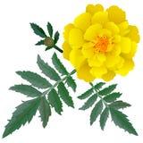 Realistische illustratie van gele die goudsbloembloem (Tagetes) op witte achtergrond wordt geïsoleerd Stock Afbeelding