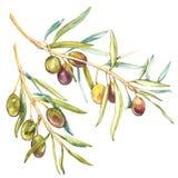 Realistische Illustration des Aquarells der Niederlassung der schwarzen und grünen Oliven lokalisiert auf weißem Hintergrund Desi lizenzfreie abbildung