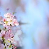 Realistische Kirschblüte-Kirschniederlassung mit dem Blühen blüht mit nettem b Stockfotografie