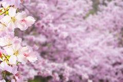 Realistische Kirschblüte-Kirschniederlassung mit dem Blühen blüht mit nettem b Lizenzfreie Stockfotos