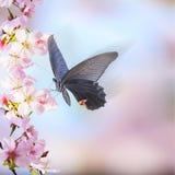 Realistische Kirschblüte-Kirschniederlassung mit dem Blühen blüht mit nettem b Stockbild