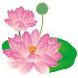 Realistische Oosterse lotusbloem. Royalty-vrije Stock Afbeeldingen