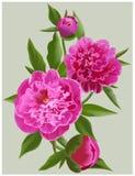 Realistische rosa Pfingstrosen Vector Blumenabbildung Lizenzfreies Stockbild