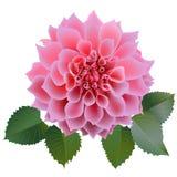 Realistische roze chrysantenbloem met vier bladeren Royalty-vrije Stock Foto