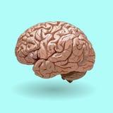 Realistisches menschliches Gehirn auf einem blauen Hintergrund Stockbilder