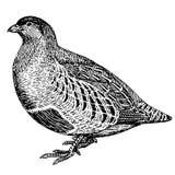 Realistisches Vogelrebhuhn der Skizze Stockfotografie