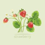 Realistisk illustration för vektor av jordgubben med sidor och blommor royaltyfri illustrationer