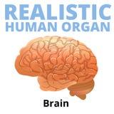 Realistisk mänsklig hjärna som isoleras på vit bakgrund Arkivbild