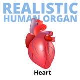 Realistisk mänsklig hjärta som isoleras på vit bakgrund Royaltyfri Bild