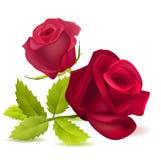 Realistisk röd ros på vit Arkivbild