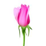 Realistisk rosknopp med stammen och sidor Closeup som isoleras på en vit bakgrund blommaknoppen av rosen Symbolet Arkivfoton