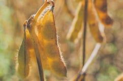 realistisk soy för bönaillustration Arkivfoto