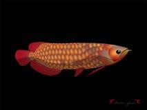 Realistyczny graficzny desugn wektor czerwony arowana na czarnym tle Zdjęcia Royalty Free