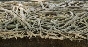 Realy photo of natural form of tree root stock photos