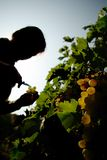 Reap the harvest. A person in the vineyard is reaping the grapes Royalty Free Stock Photos