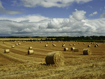 Reaped straw field and rows of straw Royalty Free Stock Image