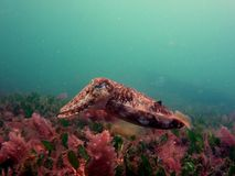 Reaper Cuttlefish Royalty Free Stock Photos