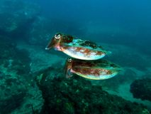 Reaper Cuttlefish. Two Reaper Cuttlefish (Sepia mestus) swimming together Stock Photos