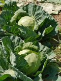 Reaping cabbage planst  in a kitchen garden Stock Image