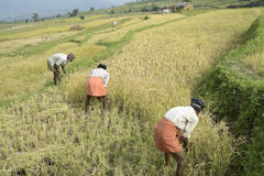 Reaping paddy ripened-terraced cultivation Royalty Free Stock Photography