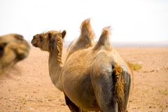 Rear Bactrian Double Hump Camel Gobi Desert Stock Photography