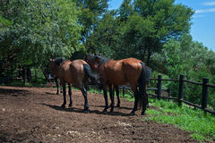 REAR END OF BROWN HORSES Royalty Free Stock Photos