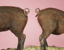 Rear End Of Pigs On Pink Background Stock Photo