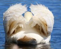 This is a rear-facing Trumpet Swan. Whose white feathers are perfectly symmetrical Stock Image