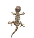 Rear Gecko. Geckos are lizards Live in the corner of a wall or behind a cabinet, eating insects as food Stock Photography