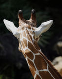 Rear head of giraffe Royalty Free Stock Photography