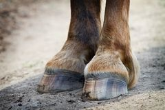 Rear hooves horse Royalty Free Stock Image