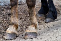 Rear hooves horse Stock Image
