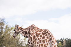 Rear part of a reticulated giraffe Stock Photo