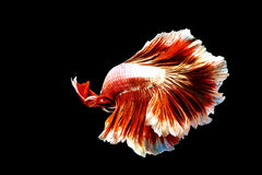 Rear shot of thai fighting fish Royalty Free Stock Images