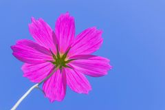 The rear side of colorful cosmos,Mexican Aster,Asteraceae,flower,pink flower with the sunlight and blue sky background. Stock Photos