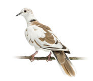 Rear view of an African Collared Dove perched Stock Photos