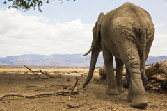 Rear view of an African Elephant bull Royalty Free Stock Images