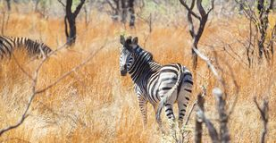 Rear view of an African Zebra. Photographed on safari in a South African game reserve royalty free stock images
