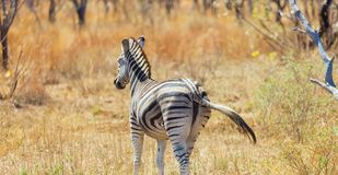 Rear view of an African Zebra. Photographed on safari in a South African game reserve stock photo