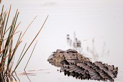 Rear view of alligator in Florida wetlands. American alligator looking for a prey, in a South Florida wetland Royalty Free Stock Photography